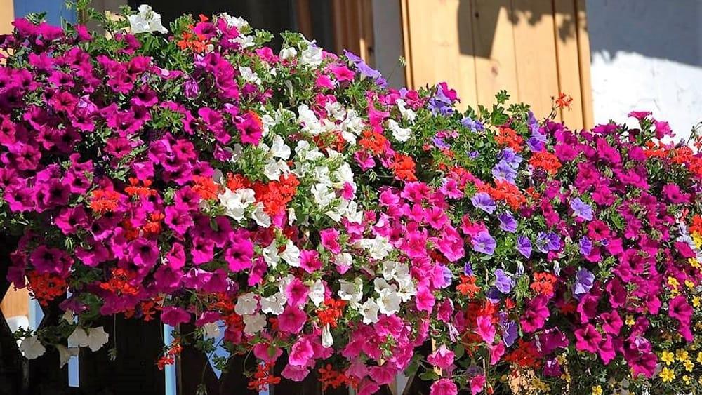 fleurs d'été pour les balcons