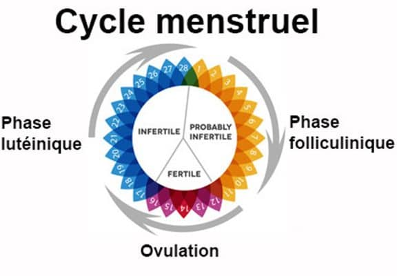 cycle menstruel calendrier phases