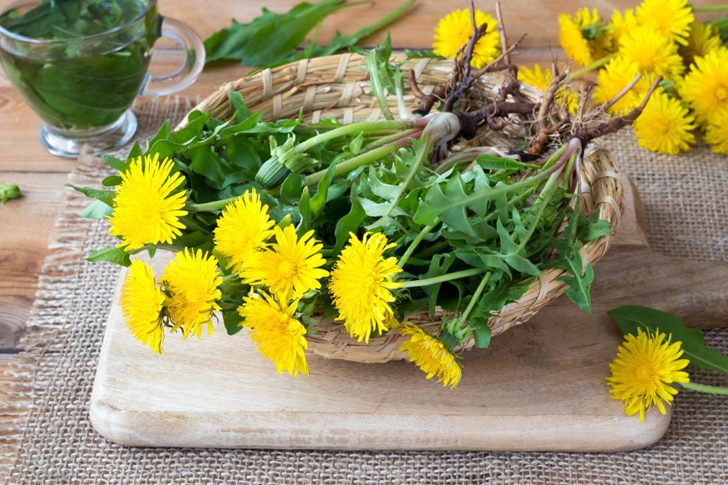 plantes brule graisse pissenlit